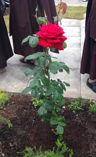 The Rose has been planted  by the Roses in the garden of Redemptoristines